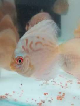 Discus all sizes available