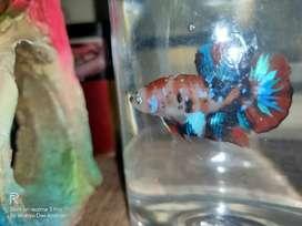 Ikan Cupang Koi.