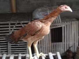 Ayam bangkok mangon,masih dere ,umur 6 bulan