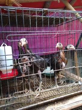 Ayam kampung silang Bangkok