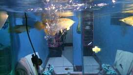 Arwana golden red HB ikan