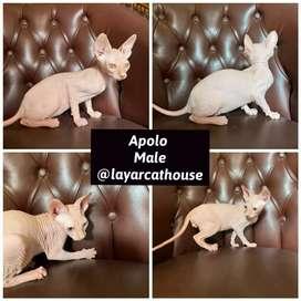 Kucing Sphynx pedigree jantan ICA