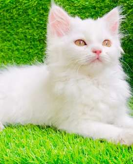 Persian male kitten