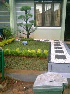 Jual tanaman hias Rumput gajah mini Untuk taman hias depan Rumah