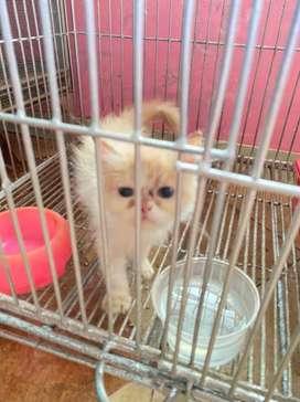 Kitten Persia Betina