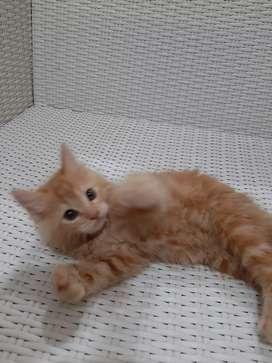 Kucing Persia Medium x Mainecoon Ekor Kipas