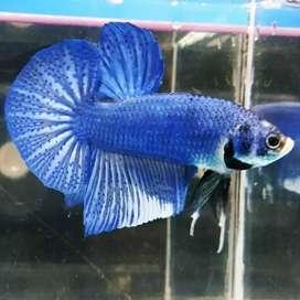 Ikan cupang giant blue marble