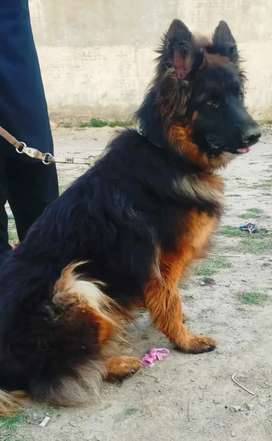 Pedigred Male 11 month's