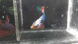 Ikan cupang fancy line WS