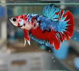 Ikan Cupang Jantan Male Galaxy Cooper