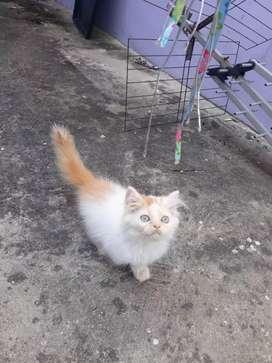 Anakan kucing Persia imut comel jantan bulu super panjang