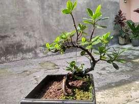Bonsai benggoll