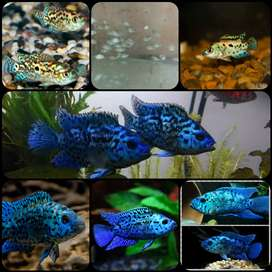 Ikan electric blue jack demsey untuk aquarium
