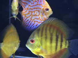 Discus up for Sale.