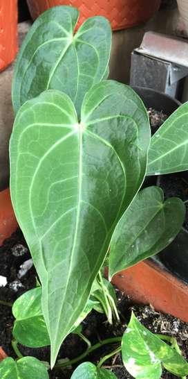 Anthurium magnificum verde. (Real pict)