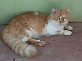 Persian cat male,