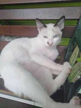 Anak Kucing Siam dan Anggora