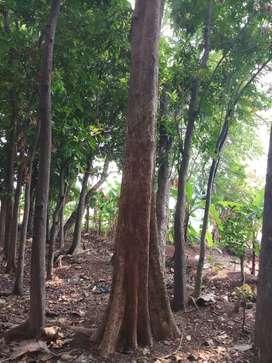 Jual tanah SHM berikut pohon jati sebanyak 50 pohon,610 meter2