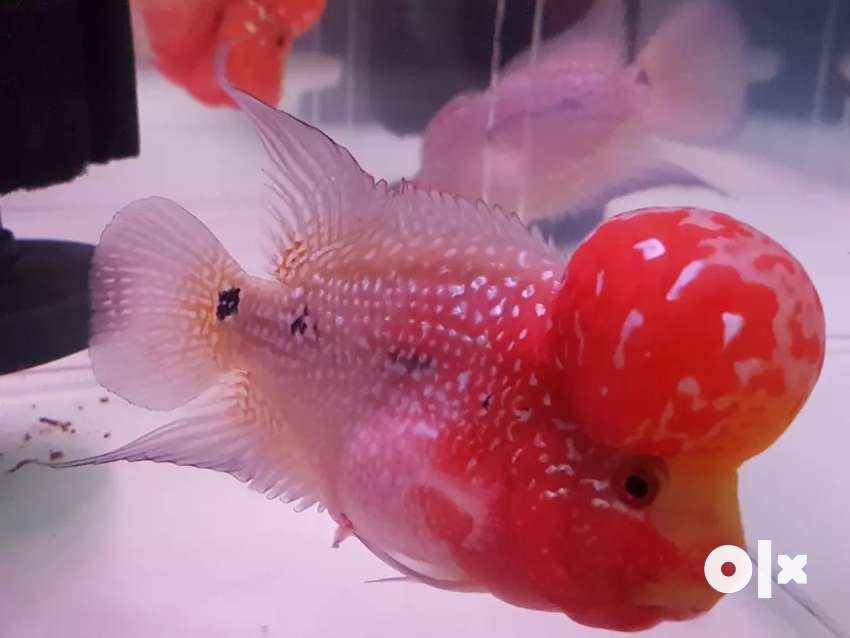 Extrinsic Quality AAA Grade Flowerhorns for Sale at Best price 0