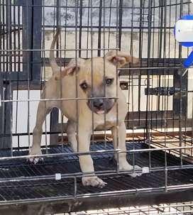 Jual puppy pitbull