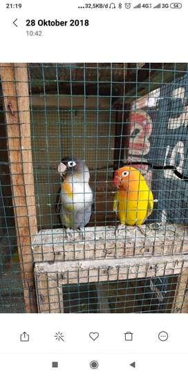 Burung lovebird Hs batman x lutino produk dua kali