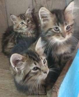 Kucing Mainecoon Persia 3 bulan, maine coon
