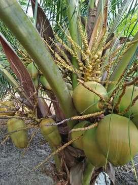 Kebun kelapa#Eni# 2 Ha,Batam,surat Camat,600 jt nego