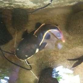 Red Tail Catfish kurleb 32cm