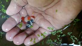 Ikan Guppy Platinum Red tail big ear