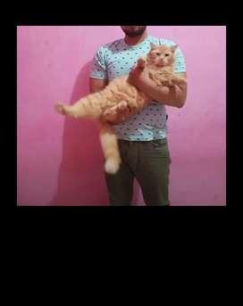 Kucing persia garfield rangka besar jantan  oren marbels umur 12 bulan