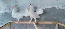 3 lakky chicks age 1 month jst