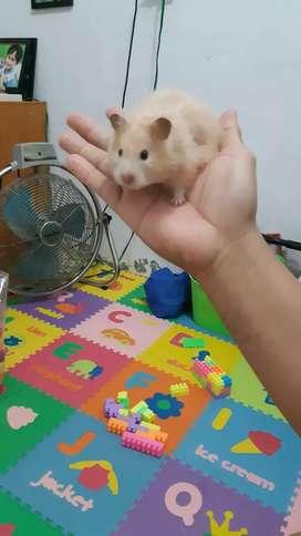 Jual hamster syrian anakan