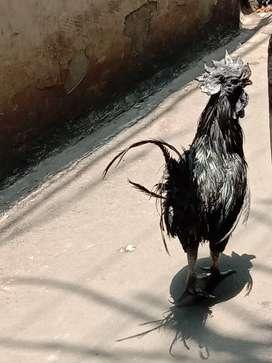 Jual ayam cemani hitam