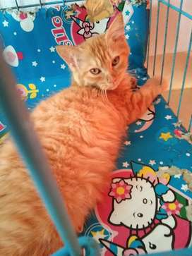 Jual kucing persia jantan umur 4 bulan