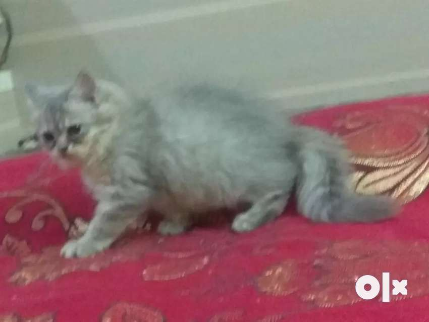 Persian cats and kittens 0