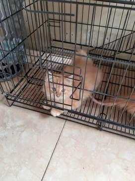 Dijual kucing persia