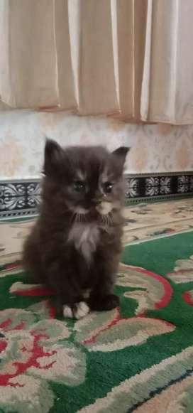Kucing persia betina black