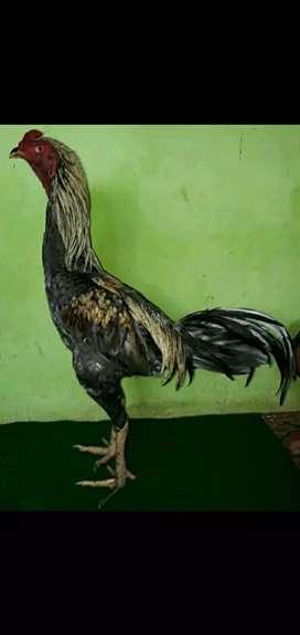 Ayam birma x mangun.