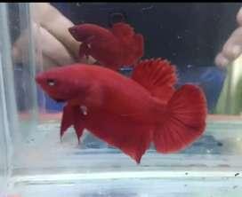 Ikan cupang hias super red