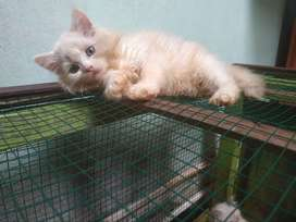 Jual kucing persia medium