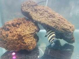 ikan hias dazt 4 bar besar  4 jari