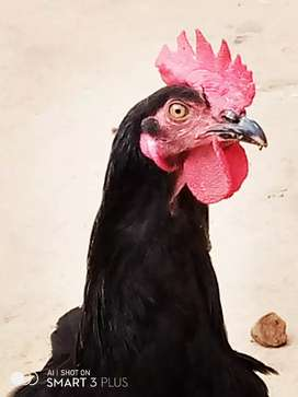 Pure Black Asteralorpe&RIR Adult for Leang Eggs Avaible For sel
