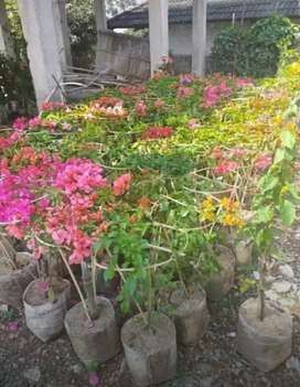 Bugenvile bunga murah