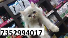 cat in muzaffarpur at raj pet shop with home delivery