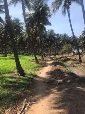 Coconut farm/agriland/agriculture/agricultural/farmland/farmhouse/land
