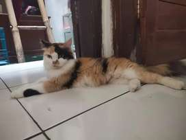 Indukan Persia medium calico proven