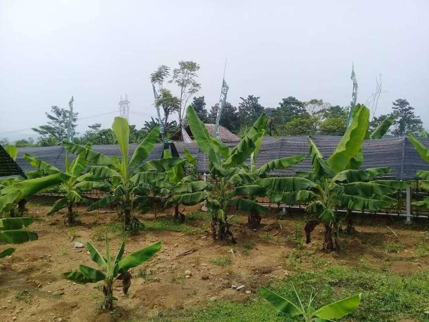 dijual kavling tanah kebun vanili dan cavendish 52Juta SHM di Bogor