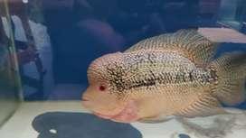 Ikan louhan cencu dan Aquarium