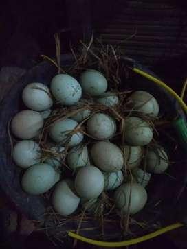 Telur bebek tetasan