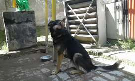 Belljium shepered male 1 year old best for security price 25000